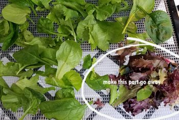 Dehydrate lettuce or bagged salad from the produce in your backyard garden or from the grocery store. It's a quick way to add to your green leaf powder!