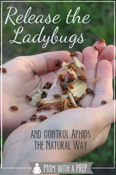 Can ladybugs really help with aphid control in your garden? You bet! Here's how to do it, and spring is the perfect time to get started!!