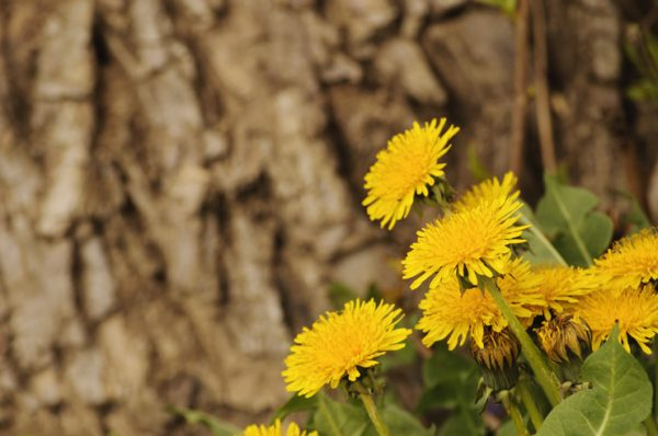 30+ Incredible Ways to Use Dandelions in Food Storage and more