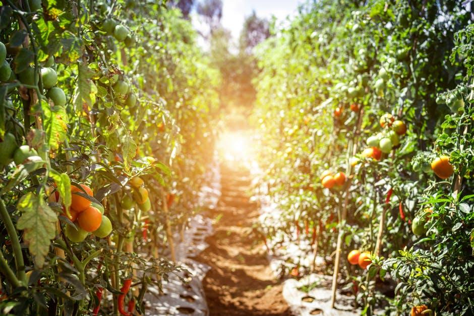 pathway along tomato plants