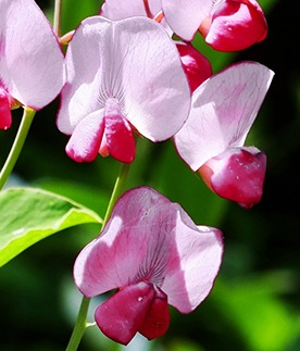 flowers of sweet pea Windsor