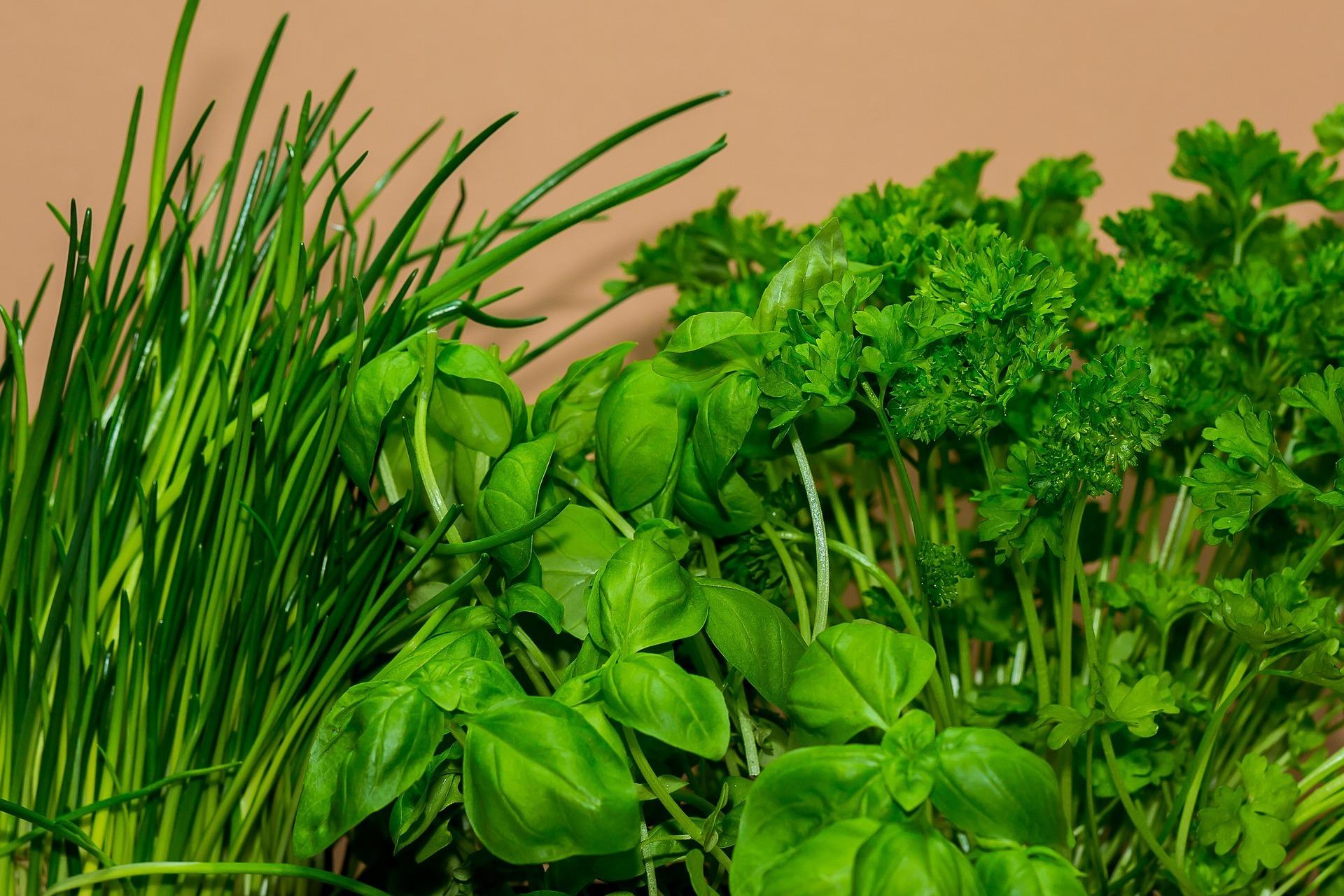basil cooking herb