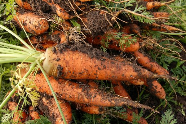 Carrots that were just pulled from the ground
