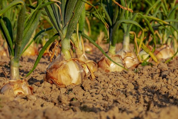 Onions growing in the ground